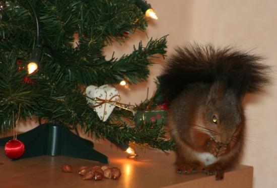Det var en nog den minsta gran jag sett, men så bra med lamporna så att man lättare hittar nötterna!